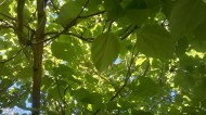 2015 Catalpa Tree Canopy at Croftfoot (PV)