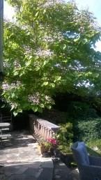 2015 Catalpa Tree at High Blantyre (PV)