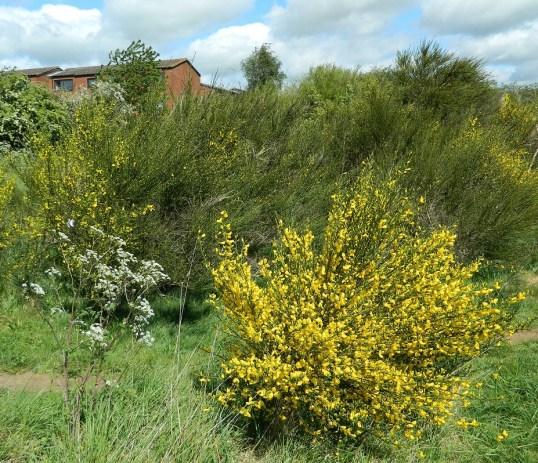 broom-flowers-bradlaugh-fields
