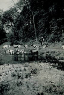 1950s Early Cattle at Milheugh