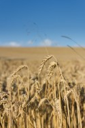 Natur Feld Getreide Landschaft