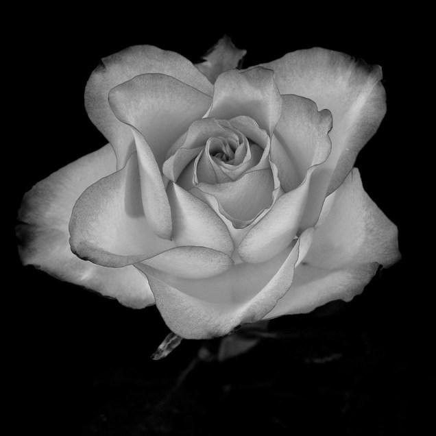 2. Light Rose