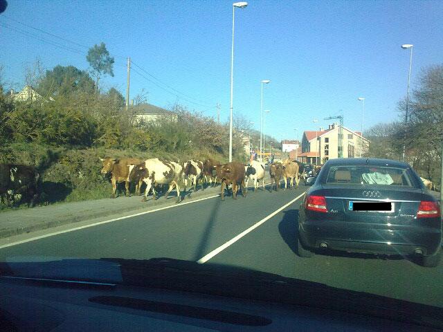 Vacas en Rodeiro