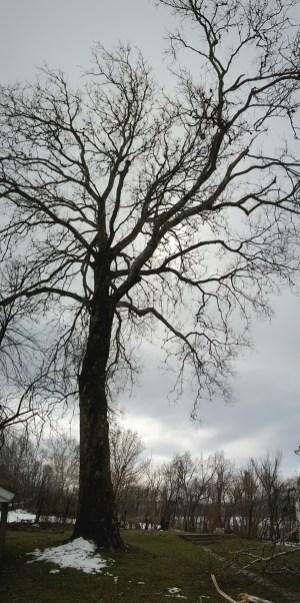 Spooky Tree at the Haldeman Mansion
