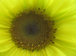 sunflower core