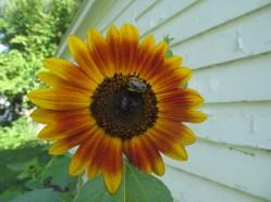 orange yellow sunflower bee
