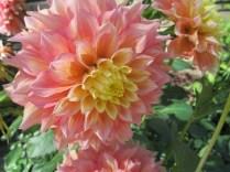 pink yellow flower
