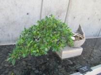 sideways bonsai