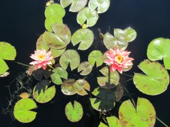 pink flower lily pad