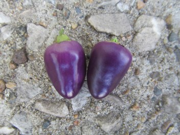 tiny purple pepper