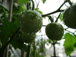 green tomato rain drops
