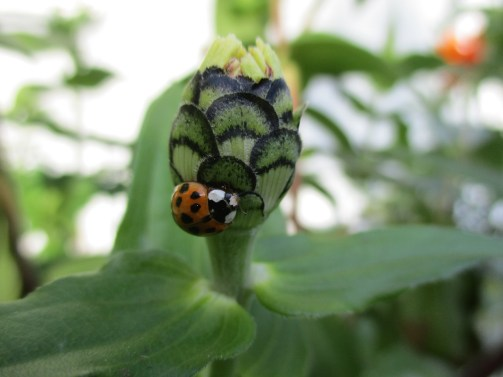 spotted bug plant