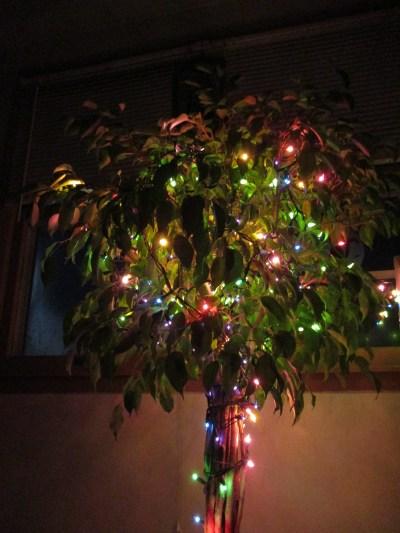Christmas Ficus