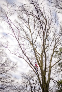 Tree pruning and climbing: Blazer Tree Services, Richmond VA area