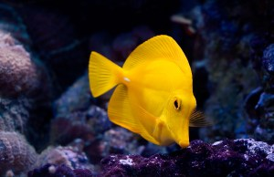 A_yellow_Fish____by_dejz0r