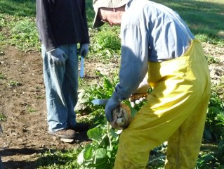 picking rutabagas
