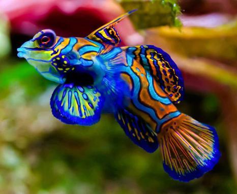 """4 Το μανταρίνι ψάρι ή μανταρίνι dragonet, Facebook page """"Wild for Wildlife and Nature"""", https://www.facebook.com/pages/Wild-for-Wildlife-and-Nature/310529905732374?fref=ts"""
