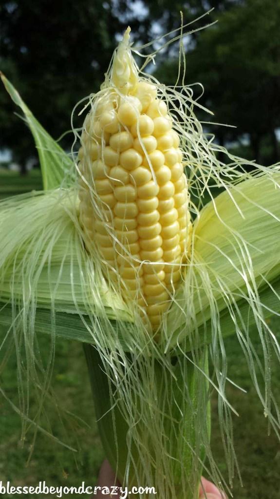 Shucking sweet corn.