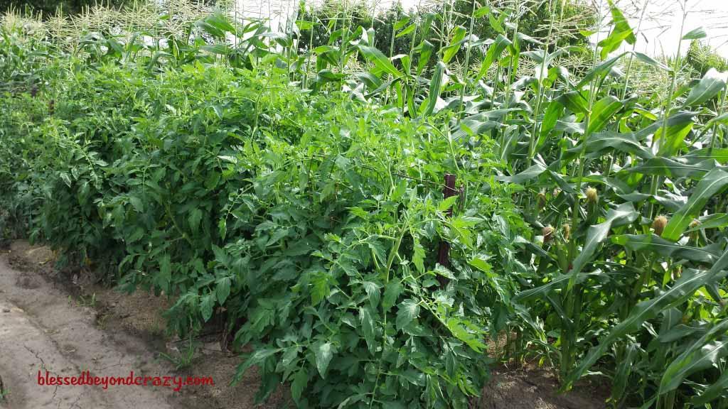 garden tomatoe