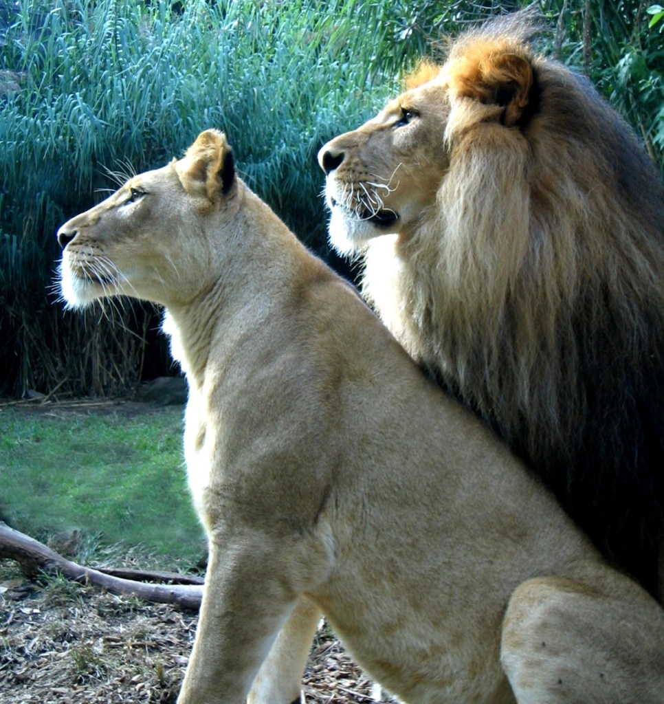 A lion king and his lioness