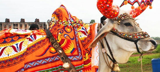 I have seen a couple of bulls around Nagpur but was unable to snap a photo, here is a beautiful example. Photo credit: http://blessingsonthenet.com