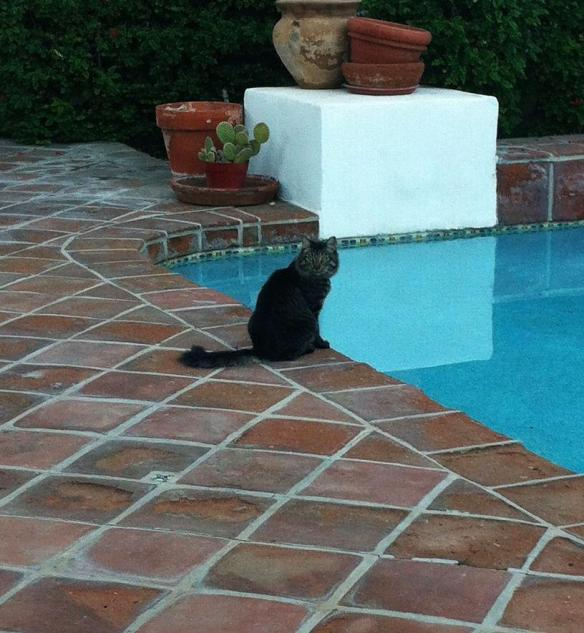 Olive cat debating a dip in the pool.