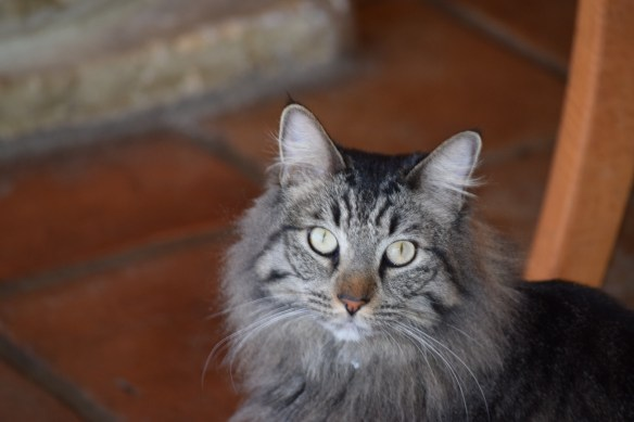 Beautiful long hair tabby cat.