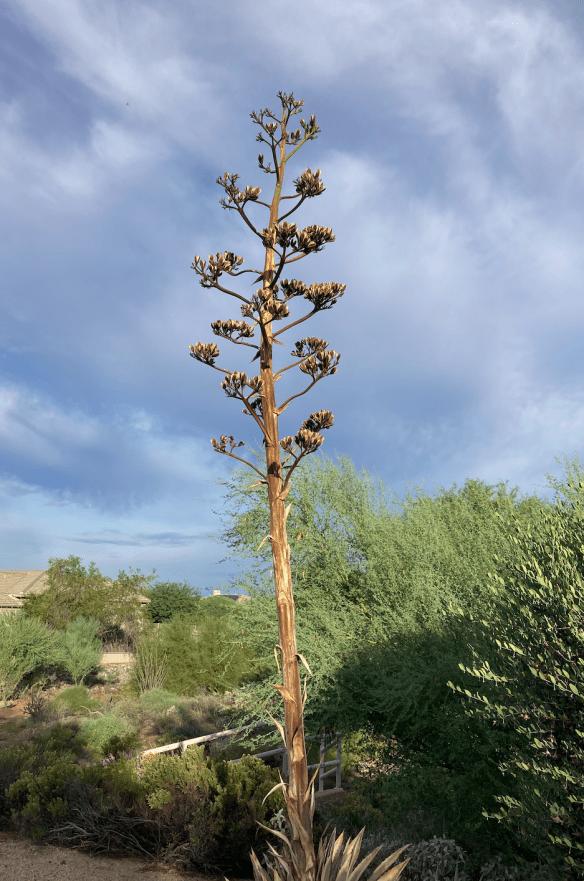 yucca flower stalk