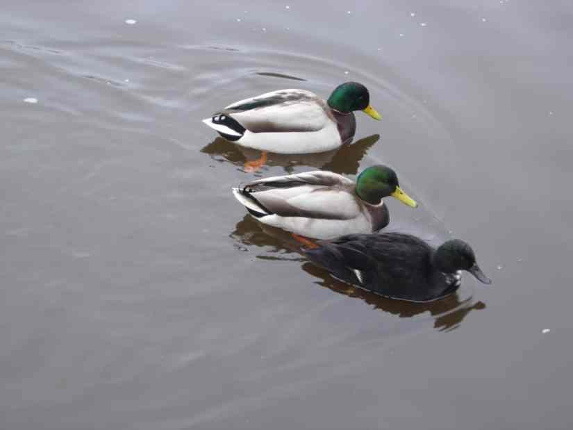 3 eenden zwemmen samen