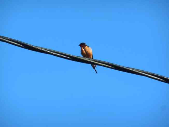 barn-swallow-neskowin-telephone-line-kw