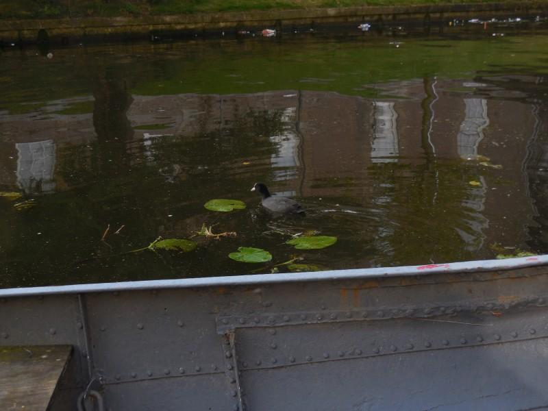 meerkoet-Leiden