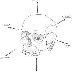 Chimpanzee Skull Diagram Dictator Wiring 301 Moved Permanently