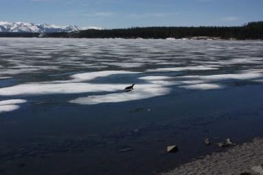 Otter on Ice2