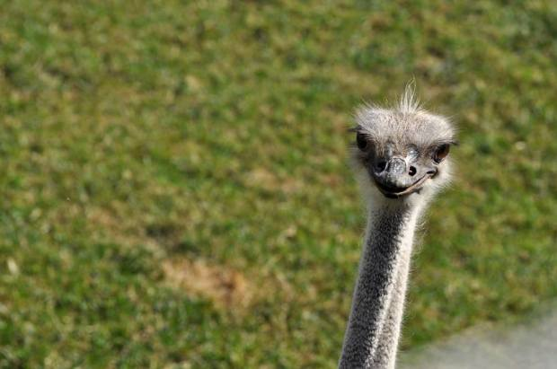 Ostrich checks out the camera.