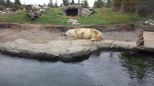 Polar bear sleeping at columbus zoo and aquarium