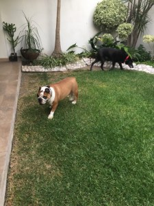 A bulldog and a black lab explore their grassy backyard after their long journey from Ohio to central Mexico.