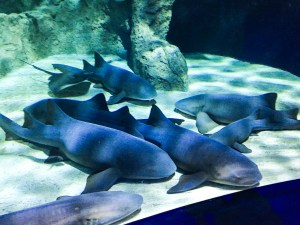 Approximately 6 sharks, laying at the bottom of their very large tank.