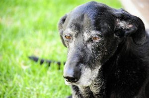 A picture of a graying black lab with beautiful brown eyes. I felt less culture shocked once the dogs arrived.