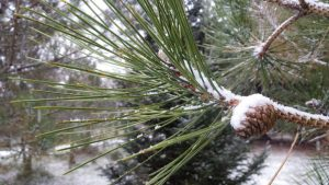 a pinecone and pine needles, covered in snow. An evergreen is in the background.