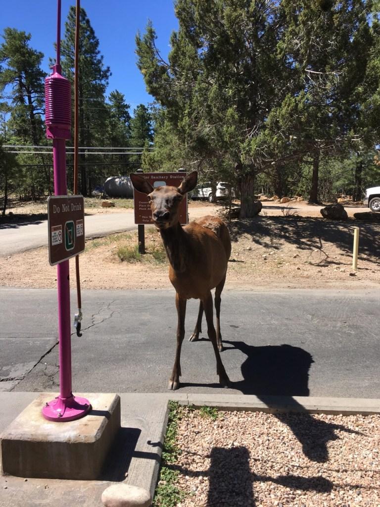 curious cow elk