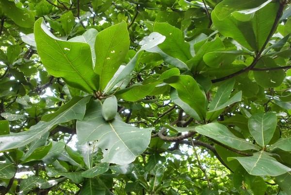 Mengenal Pohon Ketapang dan Manfaatnya  Blitar Betta Fish