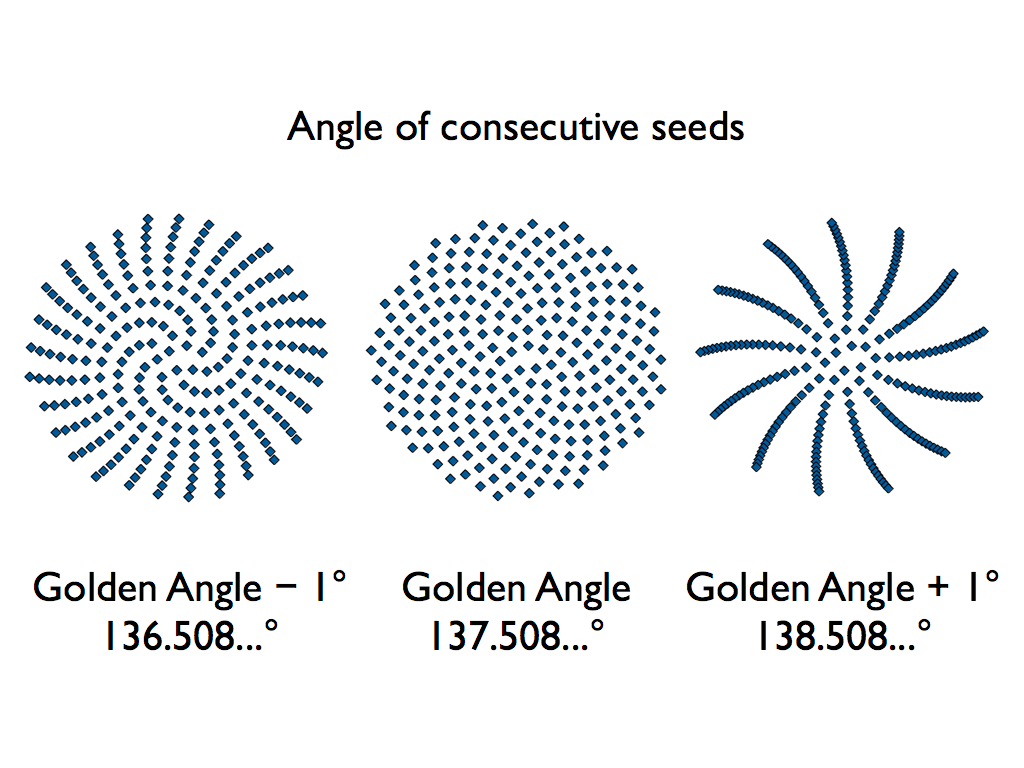 hight resolution of sunflower seed golden angle diagram 001