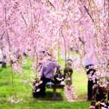 【儚いを英語で?】雨や風で桜が散る・散ってしまう・舞い散るを英語で表現してみよう!