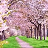 【夜桜・桜並木・しだれ桜・八重桜】を英語で?
