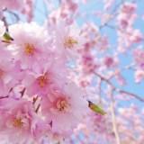 桜が満開・花見・桜前線・咲くを英語で?春の英語フレーズ②