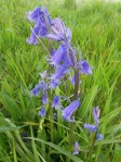 Blue bells at Painswick Beacon