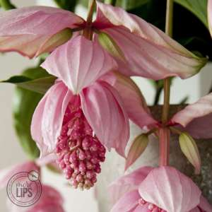 MoreLIPS® - Medinilla - 2 etages, 4 knoppen in roze keramiek - hoogte