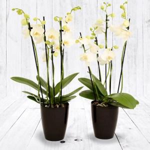 Orchideeënset in pot