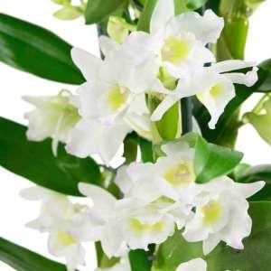 Dendrobium Nobile Apollon - set van 3 stuks