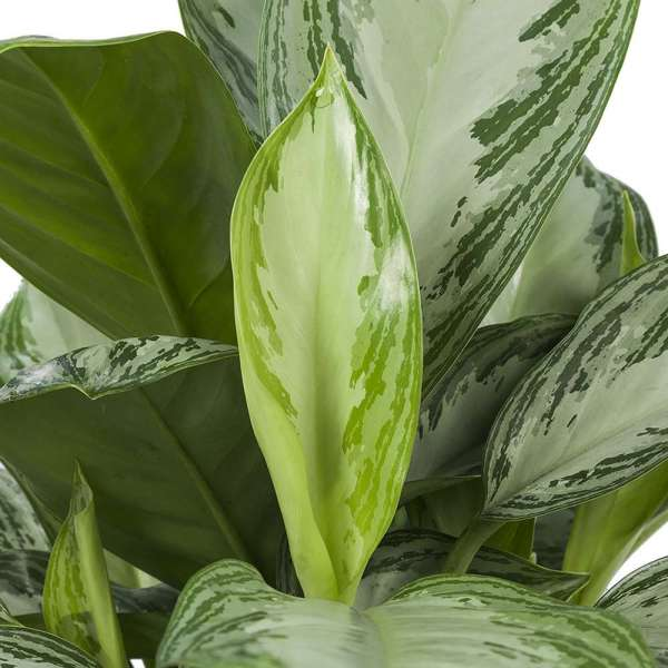 Aglaonema Silver Bay in ELHO® Greenville sierpot wit